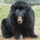 Xuan Xuan: How a broken bear was mended