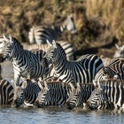 For zebras, memory is vital to survival, but it could prove a burden in the face of climate change
