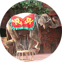 Elephant in performance