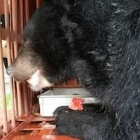 "First four of 14 ""bile bears"" rescued in Vietnam"
