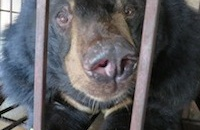 Two moon bears to be rescued from Vietnamese island