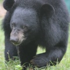 #Moonbearmonday: Hector arrived blind, now watch him forage