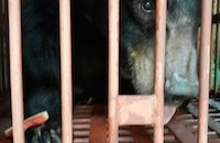 First of 38 Quang Ninh bears arrive at our sanctuary