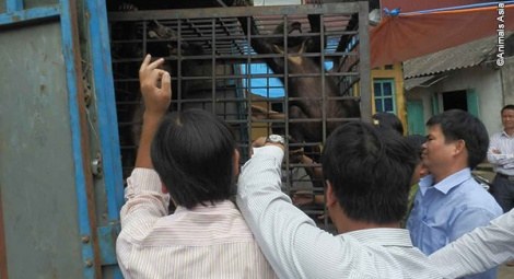 The cubs are loaded onto Animals Asia's truck for the 12 hour journey home.